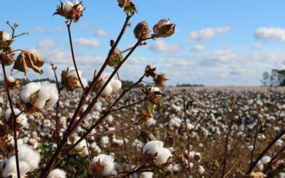 Forced and child labour in Uzbek cotton fields continues to fall