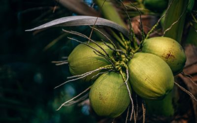 USAID, Barry Callebaut spearhead Sustainable Coconut Charter